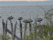 Photo of pelicans on a (former) pier. St. Marks Wildlife Refuge, Florida (19 January 2004)